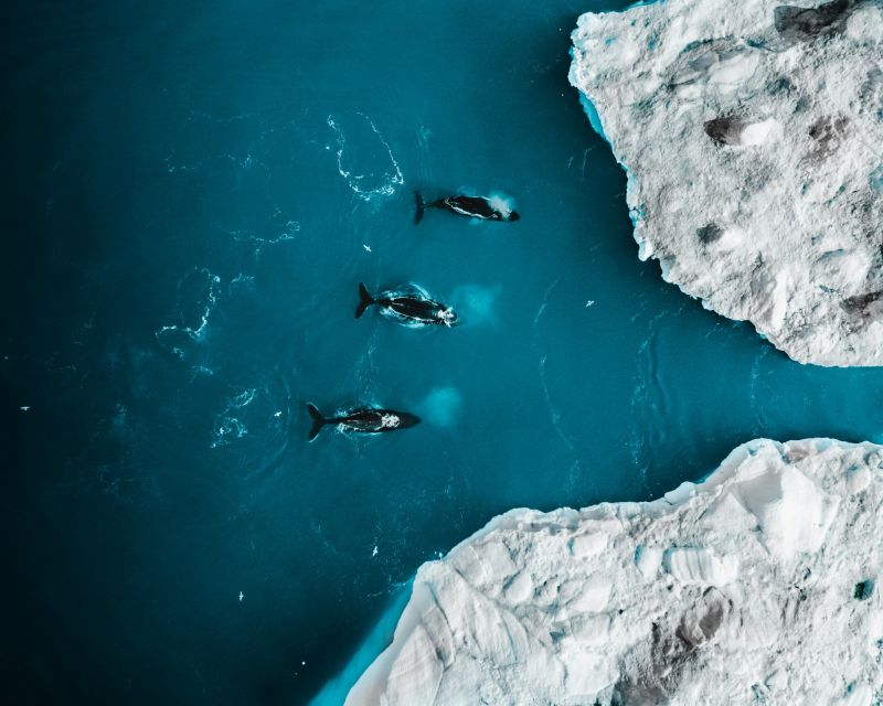 Humpback whales in Disko Bay Greenland