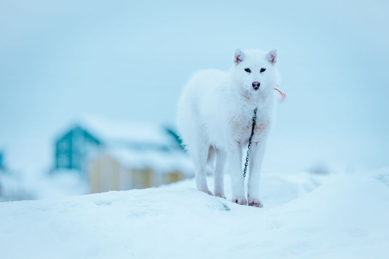 In Ilulissat you will find many sled dogs