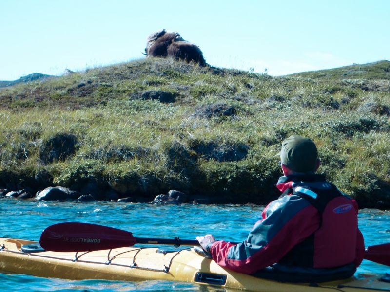 Get up close to see the musk ox by kayak