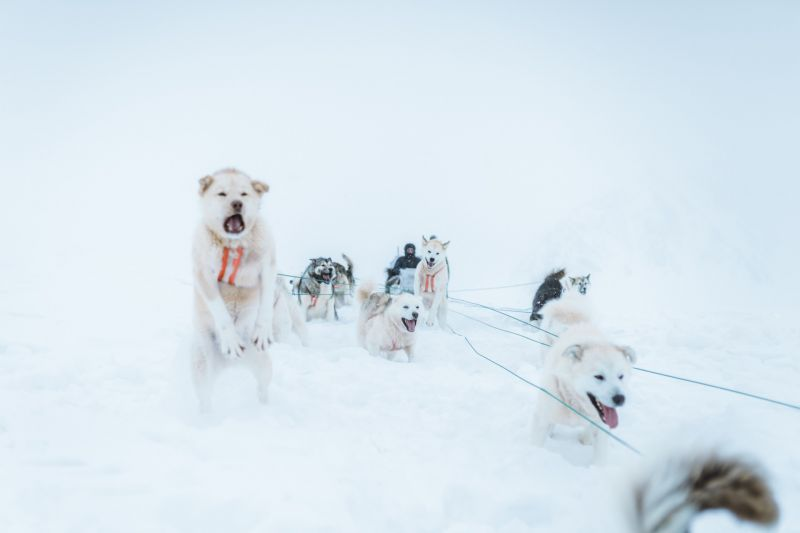 Whatever the weather - the Greenland Dogs are ready