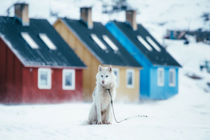 A Greenland dog in front of colourful houses in Disko Bay