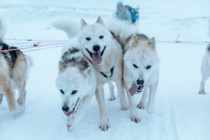 Dog sledding in Disko Bay Ilulissat