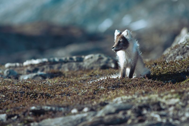 An Arctic fox in East Greenland