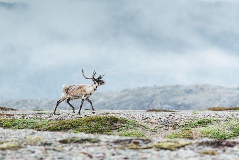 A reindeer roaming South Greenland
