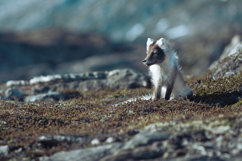 A young arctic fox