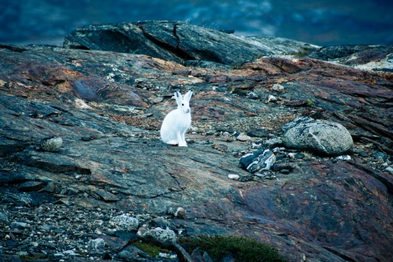 Arctic snow hare in Scoresbysund in Greenland