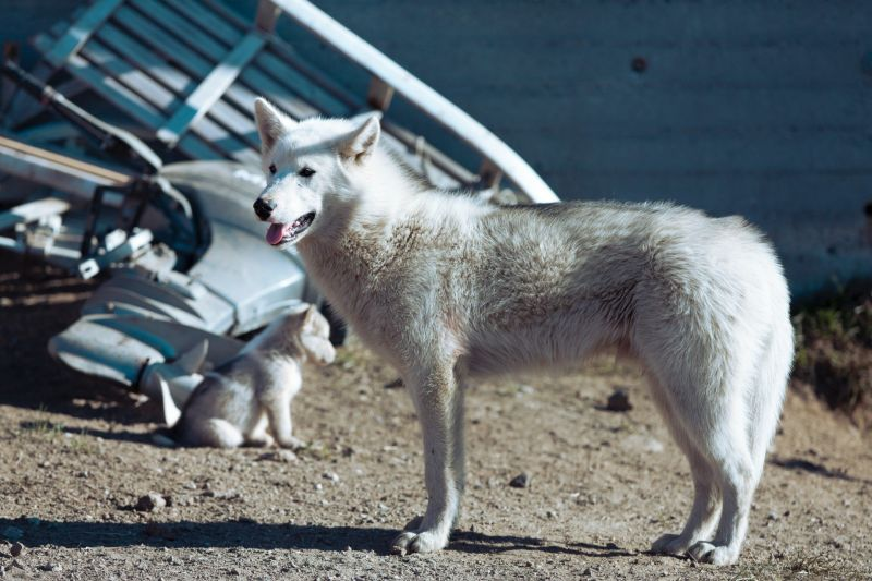 A Greenlandic dog with a puppy